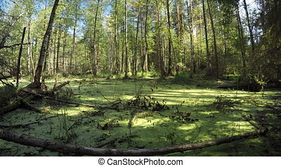 Swamp Land in Temperate Conifer Forest Wilderness Area, with...