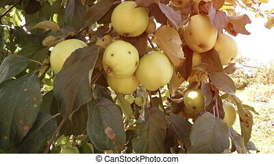 Unripe Organic Apples on a Tree in the Orchard - Big...