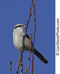 Northern grey shrike (Lanius excubitor) - Northern grey...