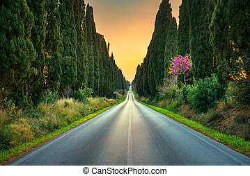Bolgheri famous cypresses tree straight boulevard on sunset....