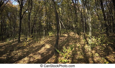Dense Deciduous Trees in Autumn Forest Wilderness - Dense...