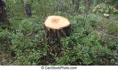 Freshly Harvetsed Pine Tree Stump Mars Forest Wilderness,...