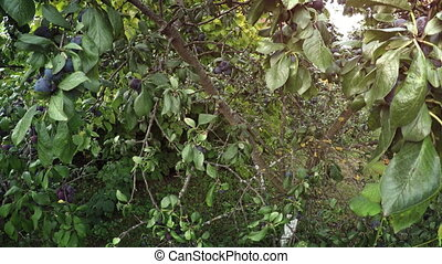 Ripe Cherry Plums on a Tree, Ready for Harvest - Small,...