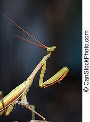 insect mantis portrait close up. macro foto