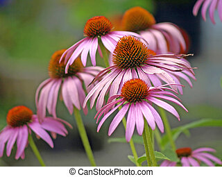 Coneflower - a blooming coneflower, medicine plant of the...
