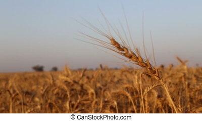 Wheat field on sunset - Shot of Wheat field on sunset