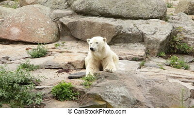 Wild white bear - Shot of Wild white bear
