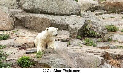White bear on a mountain - Shot of White bear on a mountain