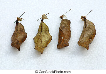 cocoon - Four butterfly cocoon white background
