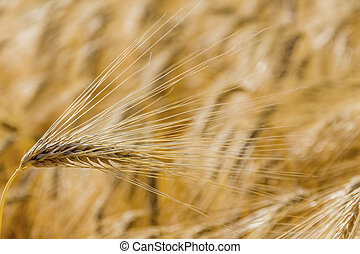 barley field before harvest - a cornfield with barley ready...