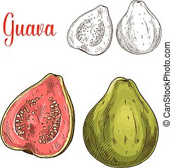 Guava fruit isolated sketch for food design - Guava fruit...