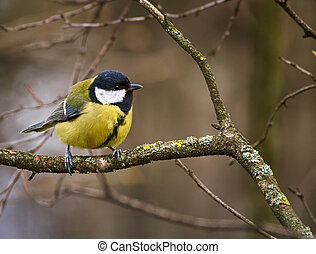 Great tit on a branch - Great tit (Parus major) perched on a...