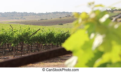 Israeli vineyards - Shot of Israeli vineyards