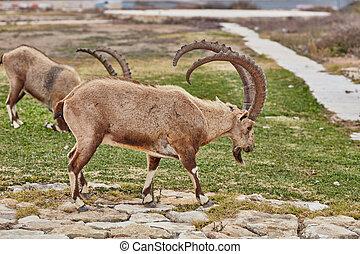 Ibex in Mitzpe Ramon, Israel - Ibex at the Mitzpe Ramon...
