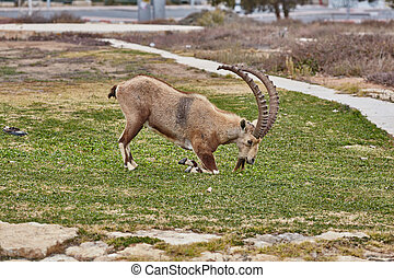 Ibex in Mitzpe Ramon, Israel - Ibex at the Mitzpe Ramon...