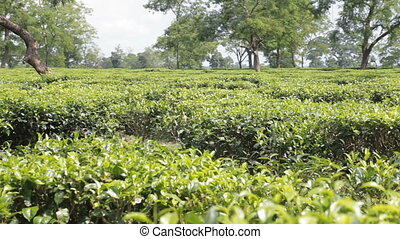 Tea plantation close-up - Tea plantation with ripe tea...