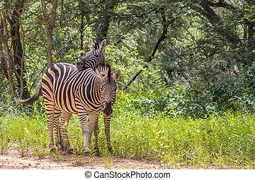 Burchells,  quagga),  (equus,  zebra