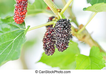 mulberry ,Indian mulberry plant