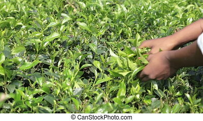 Woman Gathering Tea - Woman gathers leaves of tea