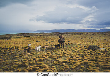 EL CALAFATE, ARGENTINA: Man riding with his dogs. - EL...
