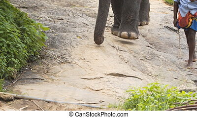Local Handler Guides Chain Hobbled Elephant down a...