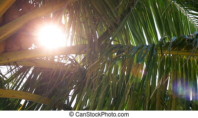 Sunshine Peaking through Fronds of a Coconut Palm - Sunshine...