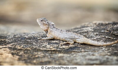 Garden Lizard Rests on a Rock and Looks Around - Little...