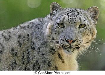 Snow Leopard - Snow leopard portrait