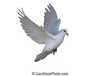 White dove flying isolated at the white