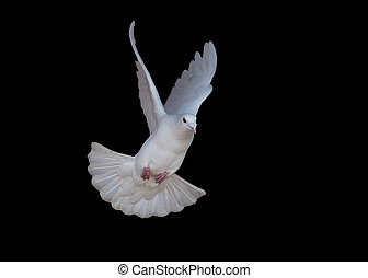 White dove flying isolated at black