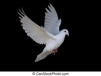White dove flying isolated at the black