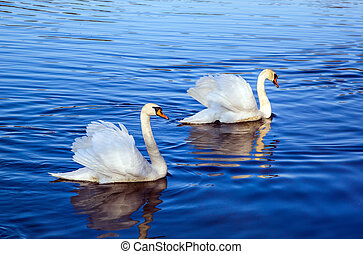 White swans on the lake - Beautiful graceful white swans on...