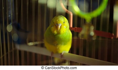 small bright budgie in a cage close up
