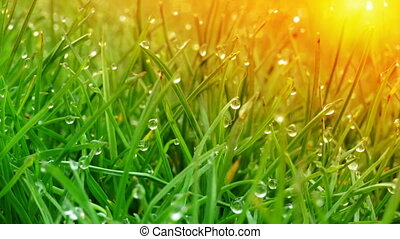 Dew drops on bright green grass with sun flare - Background...