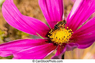 Bee on Cosmea flowers. - Pink cosmea flower with a bee on it...