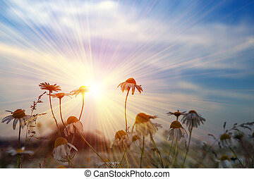 camomiles in the field on a sunset