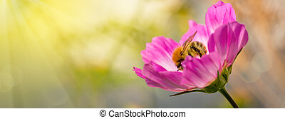 Bee on Cosmea flowers. - Pink cosmea flower with a bee on it...