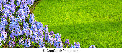 Colorful hyacinth flowers blossom and grass banner - purple,...