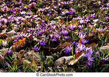 Saffron meadow flowers