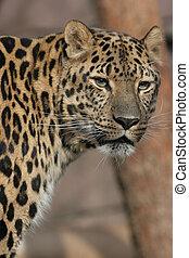 Amur Leopard - Amur male leopard portrait