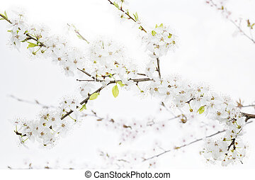 Cherry Plum twig on white background (Prunus cerasifera...