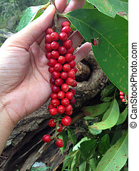 Mamao, red wild fruit (Antidesma) - Asian woman hand hold...