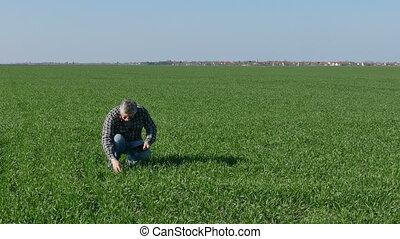 Farmer examine wheat field - Farmer or agronomist inspect...