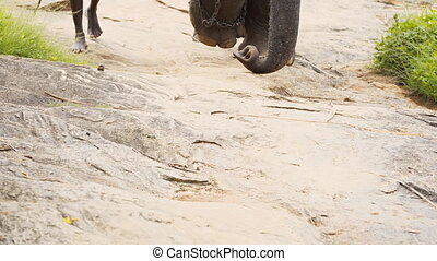 Chain Hobbled Elephant Plods Slowly down Sri Lankan Nature...