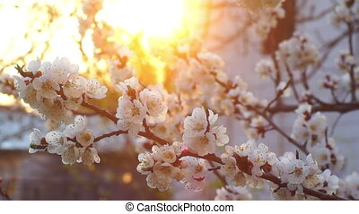 White flowers spring - Pink cherry flowers blooming in...