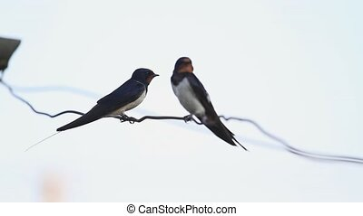 first spring swallows sitting on a wire