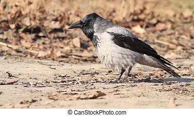 Corvus cornix walks among the fallen leaves and croak