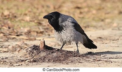 Corvus cornix attracts female cawing