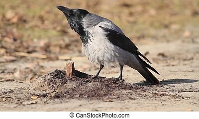 Corvus cornix croak in windy and sunny weather