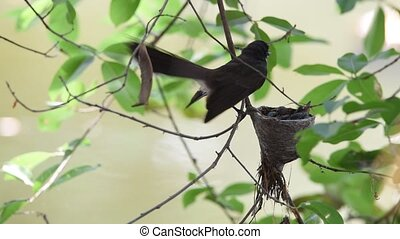 Bird (Pied Fantail Flycatcher) and baby in nest - Bird (Pied...